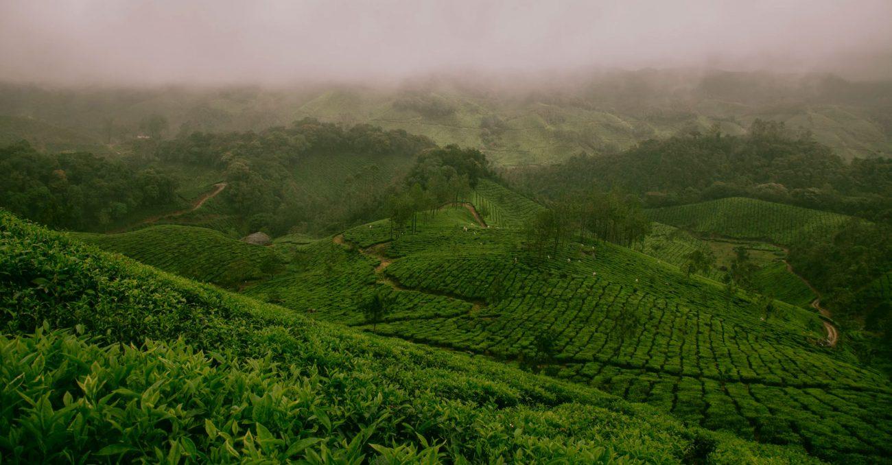 Teeplantage in Munnar, Indien